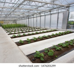 Modern greenhouse with rows of zucchini plants with yellow flowers in early summer