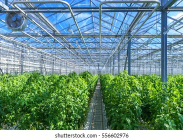 Modern greenhouse with tomato plants