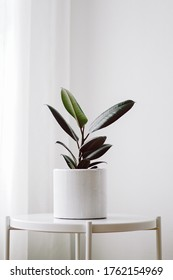 Modern houseplants with Ficus plant in a white pot nearly window at the corner of the room , minimal creative home decor concept, Ficus Elastica Burgundy or Rubber Plant.