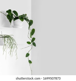 Modern houseplants on a white shelf in the white living room, minimal creative home decor concept with copy space, Monstera Peru or Monstera Karstenianum and Rhipsalis Cassutha