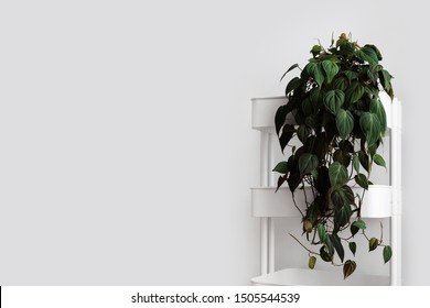 Modern houseplants trailing on a white cart with the white wall, minimal creative home decor concept with copy space, Pholodendron Micans, Philodendron Hederaceum or Velvet Leaf Philodendron