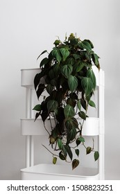 Modern houseplants trailing on a white cart with the white wall, minimal creative home decor concept, Pholodendron Micans, Philodendron Hederaceum or Velvet Leaf Philodendron