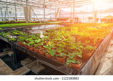 Modern hydroponic greenhouse in sunlight with climate control, cultivation of seedings, flowers. Industrial horticulture, toned