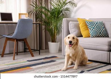 Modern living room interior. Cute Golden Labrador Retriever near couch