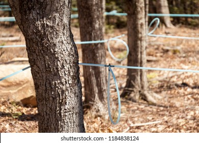 Modern maple syrup collection with blue tubes in a forest outdoors.