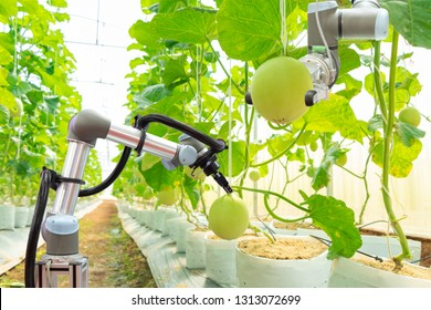 Modern melon greenhouse adopts the technology of robotic industry to apply for used in fruit plots to work and help harvest on concept of smart farming 4.0