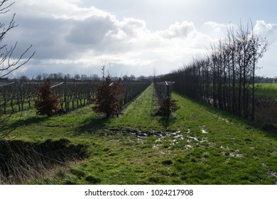 Modern orchard with bare fruittrees in rows during a cold and rainy winter morning
