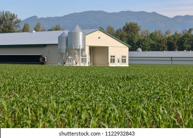Modern poultry building surrounded by a thick lush carpet of green corn during the early summer months.