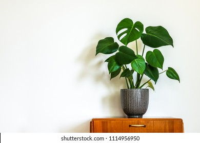 Modern retro interior. Vintage table with a potted plant, fruit salad tree (Monstera deliciosa). Empty white wall in background. Copy space for text.