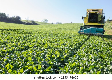 Modern self-propelled spinach harvester at work. Guadiana meadows, Badajoz, Spain. Closeup