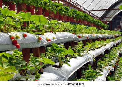 modern strawberry farm with multi-level platforms and hanging pots in greenhouse