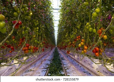 Modern tomato greenhouse, with led lighting and no-soil technology. Ripe tomatoes on the vine. Blue and red colors from led lights.