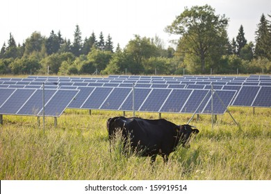 Modern vs traditional: black cow stands in front of solar panels, generating electricity from sun light.