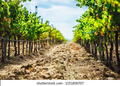 Modern wine yard, Wine grape trees in close up view, Wine production. Wine yards of Azerbaijan