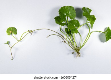 Modified Stem and root of Plant for education in laboratory.