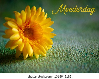 Moederdag (translation: Mothers Day). A bright yellow Gerbera flower on a green background. Room for text.