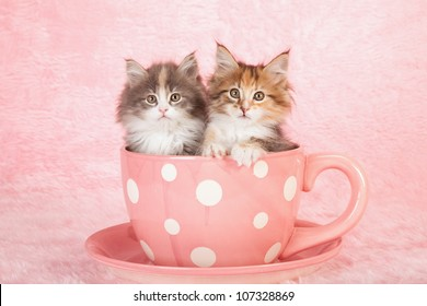 Moggie kittens sitting in large pink polka dot cup with saucer on pink background