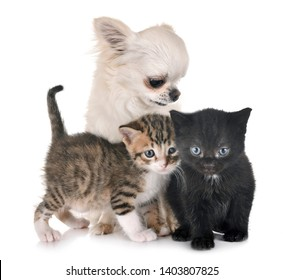 moggy kitten and chihuahua in front of white background
