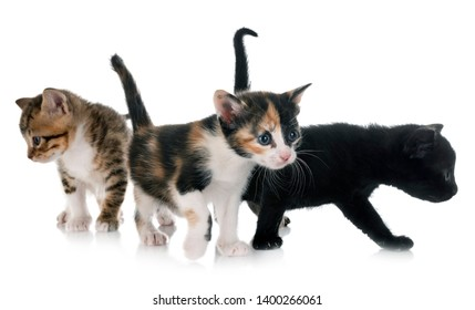 moggy kitten in front of white background