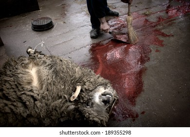 MOHACS, HUNGARY - 24, FEBRUARY, 2006: A man is cleaning up the blood of a butchered sheep as it being prepared for a festive meal as part of the Sokac ethnic tradition during the carnival season.