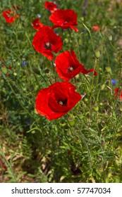 mohnblume - poppy flower