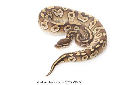 mojave ball python (Python regius) isolated on white background.