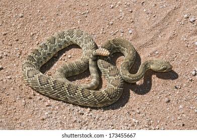 A Mojave Green Rattlesnake (Crotalus Scutulatus); Mojave Desert, California, Usa