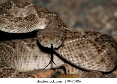 Mojave Rattlesnake (Crotalus scutulatus) coiled to strike. The Mojave Rattlesnake is considered by many to be the most deadly snake in the United States.