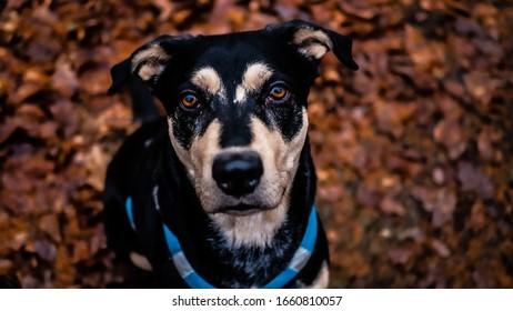 Moje psí modelka a nejlepší kamarádka - Teyla (amstaff) - Shutterstock ID 1660810057