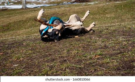 Moje psí modelka a nejlepší kamarádka - Teyla (amstaff) - Shutterstock ID 1660810066