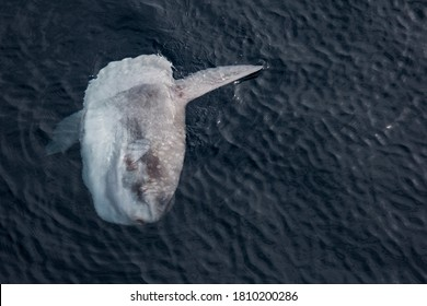 The mola mola, or ocean sunfish! This one was spotted in Greater Farallones National Marine Sanctuary. Mola molas spend time basking on their sides near the surface.