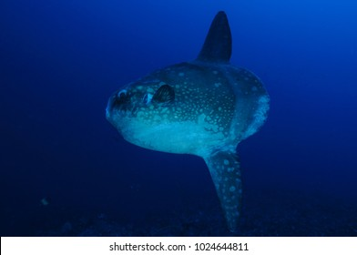 Mola Mola Sunfish at Cleaning Station in Bali