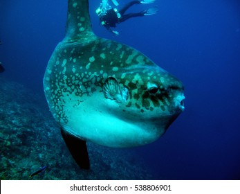 Mola mola sunfish with diver behind from the side