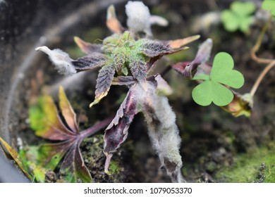 Mold on flowering cannabis clone