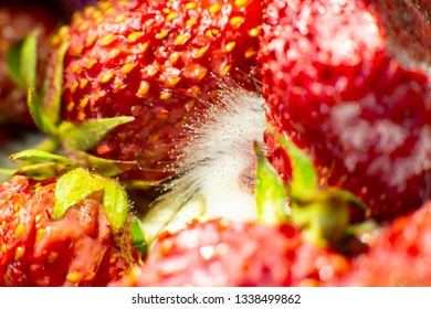 mold on strawberries. The spoiled berry has been covered with black mold