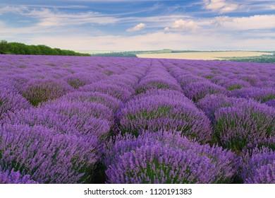 Moldavian hills landscape with lavender field in summer.