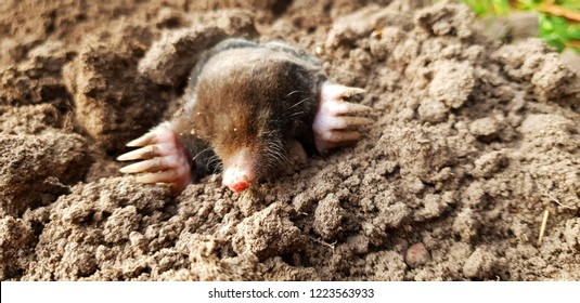 Mole coming out of the ground on the lawn