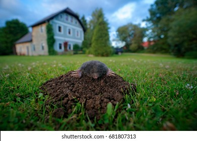 Mole in garden with house in background. Mole, Talpa europaea, crawling out of brown molehill, green grass. Wide angle lens with cute animal, urban wildlife.