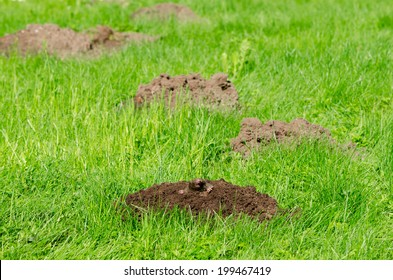 Mole hills on lawn grass and animal head in soil. Enemy for beautiful lawn.