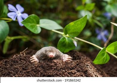Mole on a heap of soil in a garden