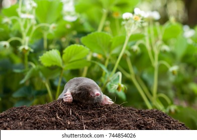 Mole out of hole, in front of strawberrys