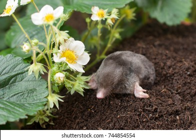 Mole Out Of Hole  In Vegetable Garden