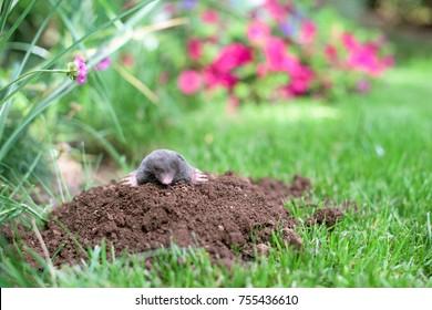 Mole out of molehill in a garden