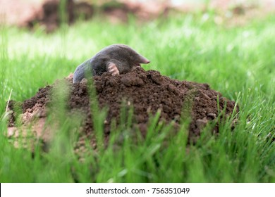 Mole out of molehill in a grass