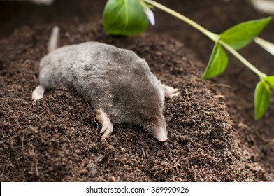 Mole out of soil in the garden