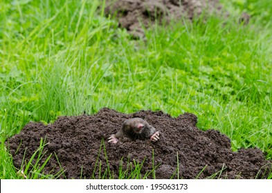 Mole put out his head from molehill hole. Enemy for beautiful lawn.