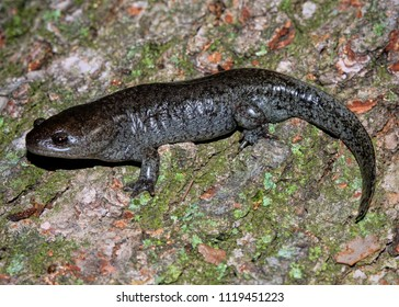 Mole Salamander (Ambystoma talpoideum) from the Reelfoot Lake area, Lake County, Tennessee, USA