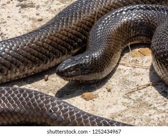 Mole Snake (Pseudaspis cana).