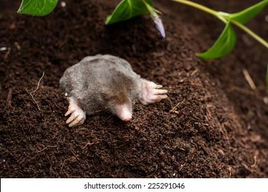 Mole in the soil hole in the garden