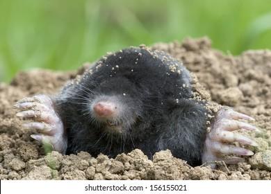 mole [Talpa europaea]